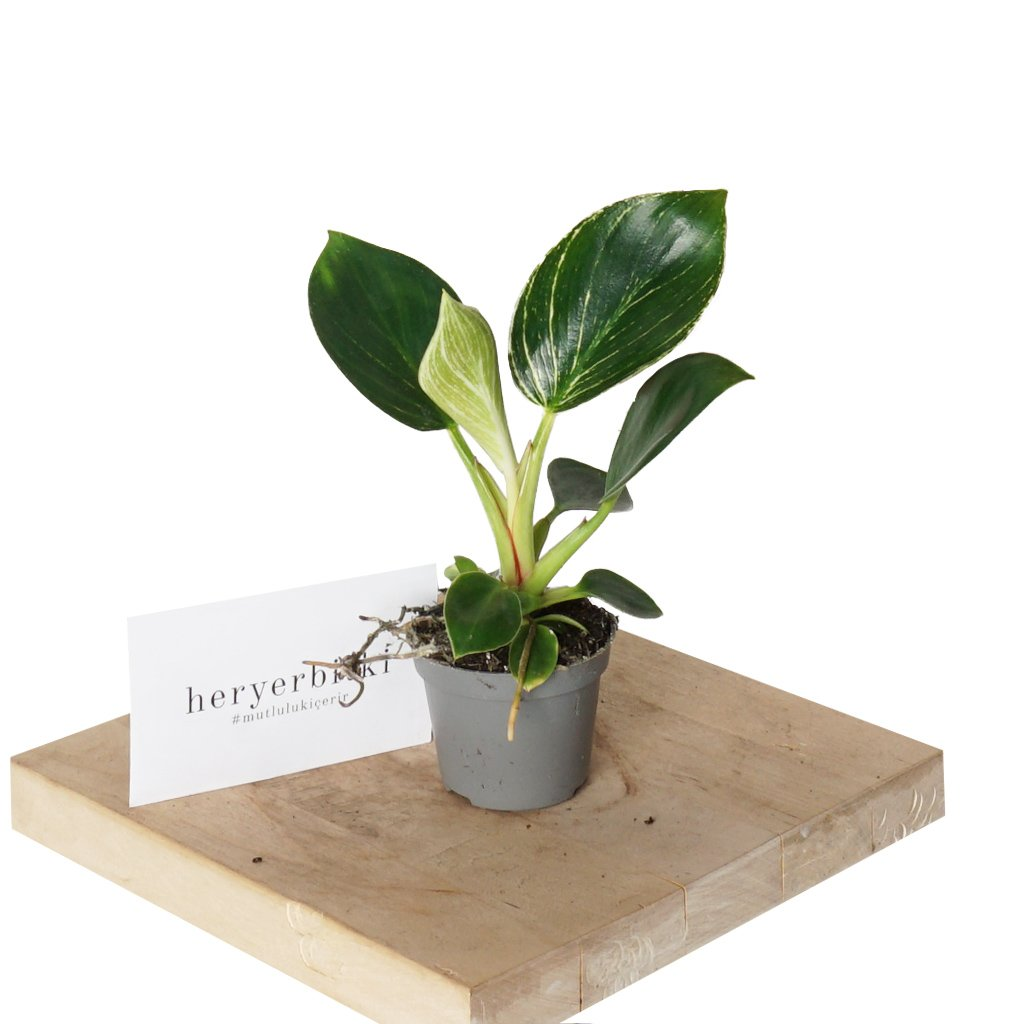 Philodendron Birkin Mini